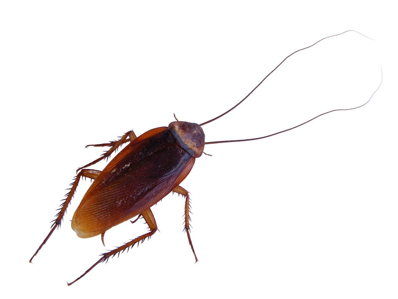 eliminar cucarachas en Barcelona cucaracha americana