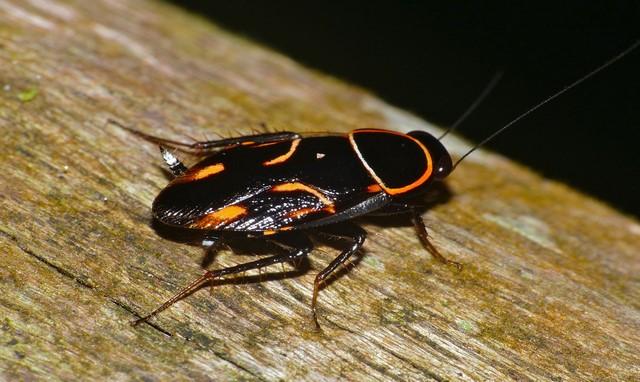 matar cucarachas en Barcelona - cucaracha oreiental