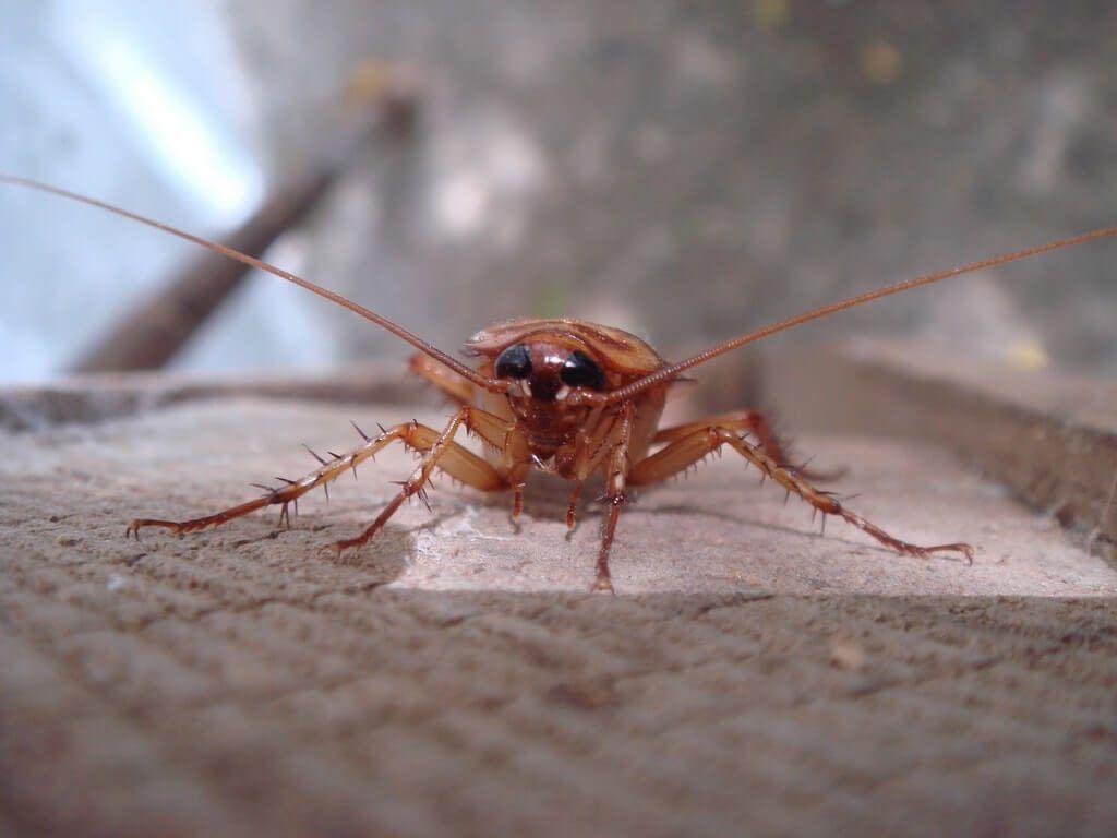 matar cucarachas en Barcelona - cucaracha germanica