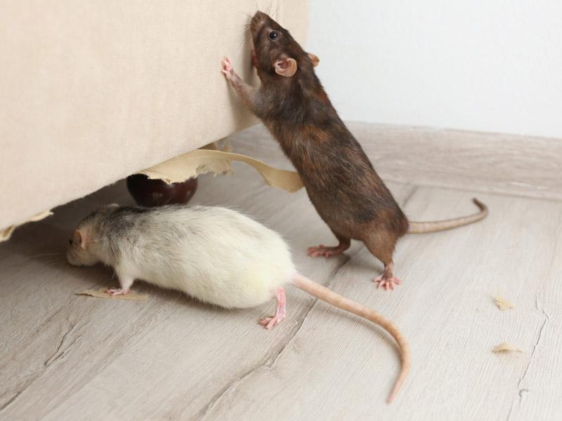 evidencia de tener ratas plaga de ratas en barcelona